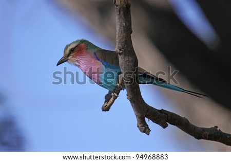 Lilac-breasted roller in africa - stock photo