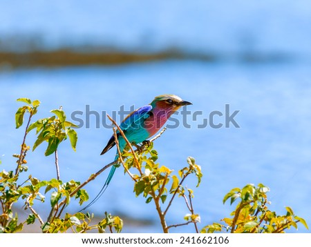 Lilac Breasted Roller in Chobe National Park - Botswana, South-West Africa - stock photo