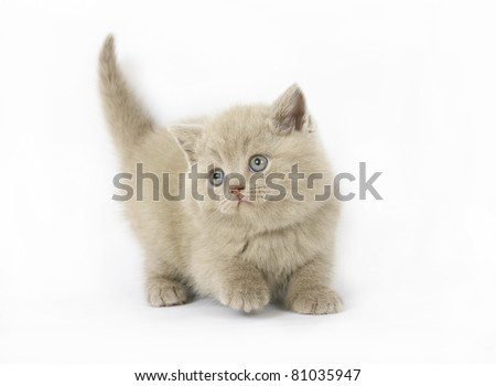 lilac  British kittens on white background - stock photo