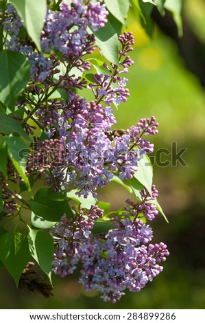 lilac bush. branch with spring lilac flowers. Lilacs bloom in May. Lilac bushes in the garden - stock photo