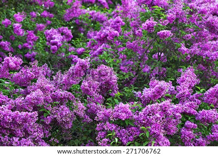 Lilac bushes blossom in the garden. Colorful floral background. Natural purple and green colors. - stock photo