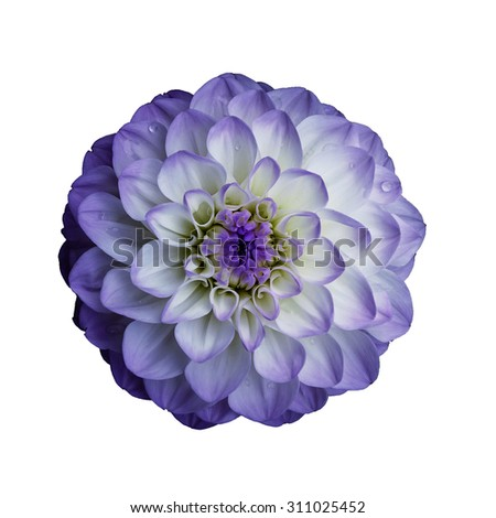 Lilac   dahlia  flower,  white  isolated background,  closeup, macro