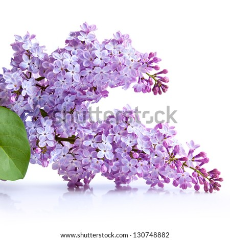 Lilac flower bunch isolated on white background - stock photo