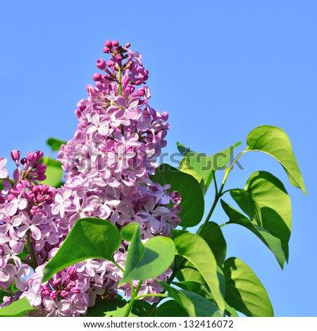 Lilac flowers against a blue sky in spring day - stock photo