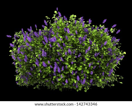lilac flowers bush isolated on black background - stock photo