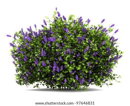 lilac flowers bush isolated on white background - stock photo
