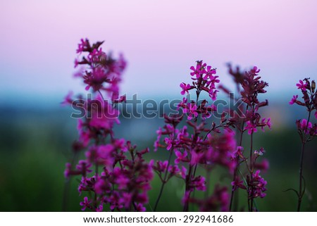lilac flowers in field in evening - stock photo