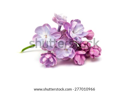 Lilac flowers isolated on a white background - stock photo