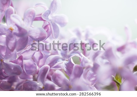 Lilac flowers soft focus, wallpaper. Image with a place for text.