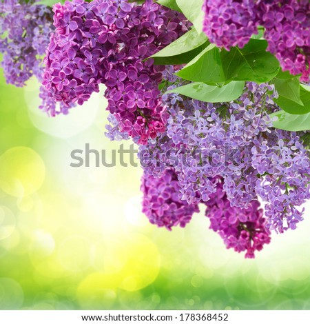 Lilac flowers tree on green defocused background - stock photo