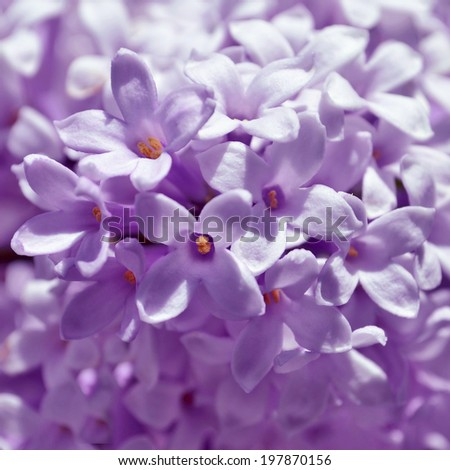 Lilac flowers up close