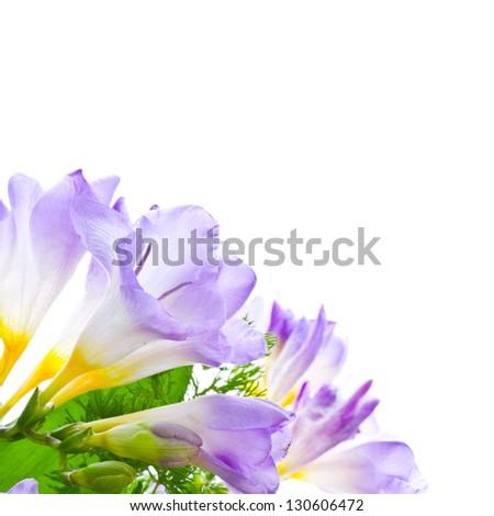 lilac freesias isolated on white background - stock photo
