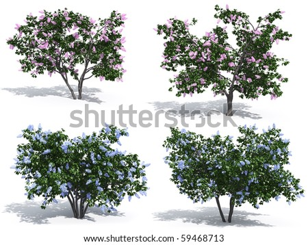 Lilac isolated on white background - stock photo