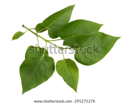 Lilac leaf on branch isolated on white background - stock photo