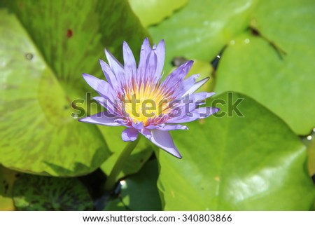 Lilac lotus blossoms or water lily flowers blooming
