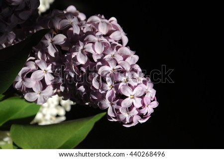 Lilac on a dark background, illuminated by the sun.