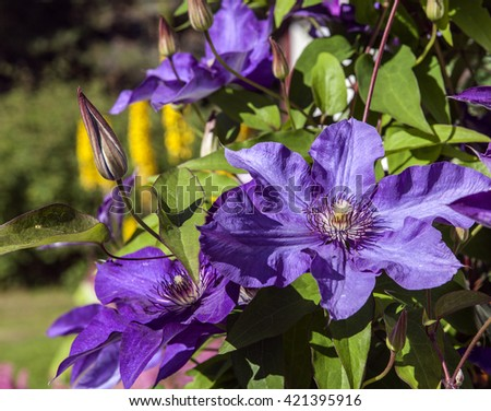 Lilac, purple flowers in a garden in closeup, macro. Colorful flowers in bright sunshine.  - stock photo