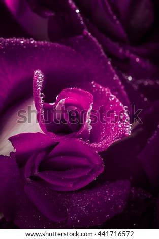 Lilac rose with dew drops, macro shot, selective focus - stock photo