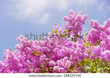 Lilac vibrant pink bunches shrub bright colors in sunlight, flowering Syringa vulgaris in early spring season, beautiful flowers in sunny day, nature detail, horizontal orientation, nobody.
