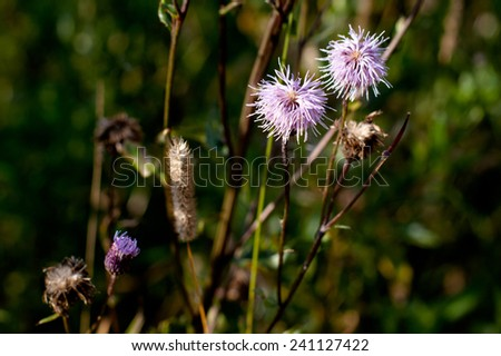 Lilac wildflower in green field in sunny day  - stock photo
