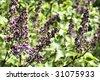 Liliac - stock photo
