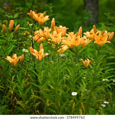 Lilies in the garden - stock photo