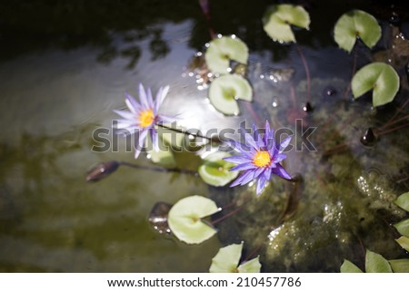 Lilies lotus in nature. - stock photo