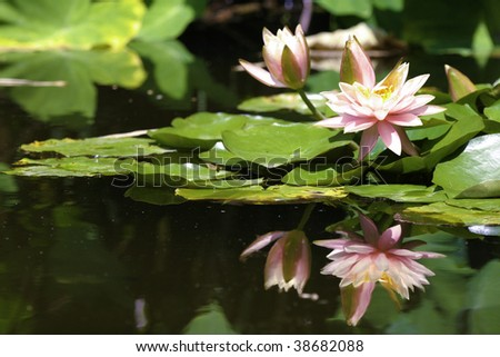 Lilies with reflection - stock photo
