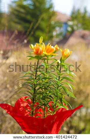 lilies,yellow lilies,lilies in vase,lilies outside,lilies in nature,orange flowers,spring flowers,flowers spring,nature,lilies on green,green leaves,long green leaves,leaf,floral,amazing nature,nature - stock photo