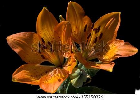 Lilium; bulbiferum; Fire Lily - stock photo