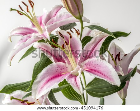 Lilium, the Stargazer lily is a hybrid lily of the Oriental group. - stock photo