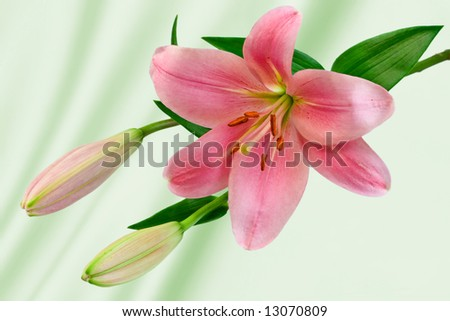 Lilium with Light Green Background - stock photo