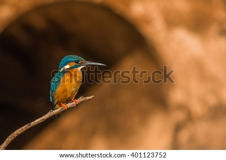 Lille Kingfisher (Small Kingfisher)