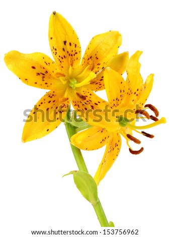 Lilly flower on a white background - stock photo