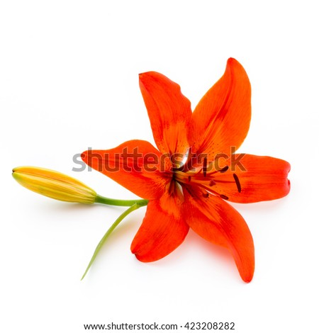 Lilly flower with buds isolated on a white background. - stock photo