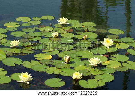 Lilly Pad - stock photo