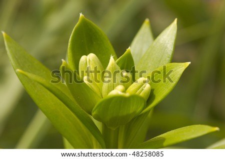 Lily buds growing in spring ready to bloom - stock photo