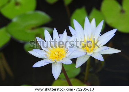 Lily Couple - stock photo