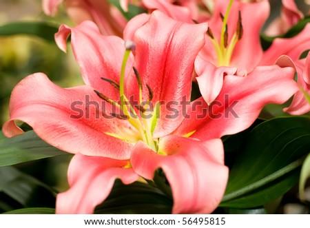 Lily flower bud from Keukenhof park. Beautiful Flowers - stock photo