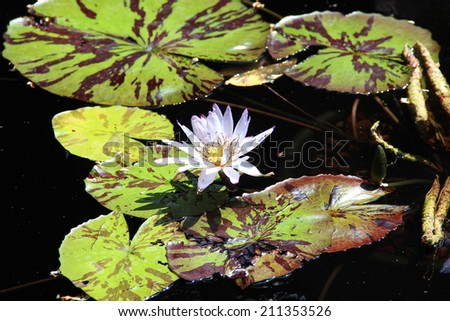 Lily flower on a pond - stock photo