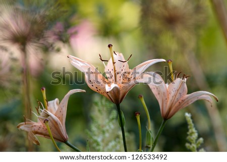 Lily flowers in garden - stock photo