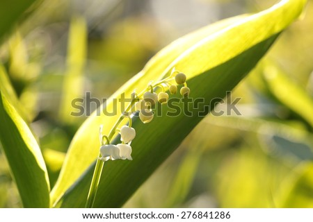 Lily of the valley. - stock photo