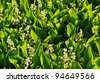 lily of the valley (Convallaria majalis) - stock photo