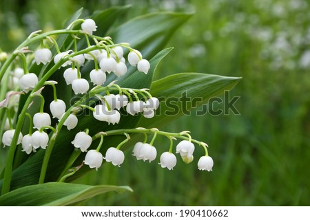 Lily of the valley/flowers/May - stock photo