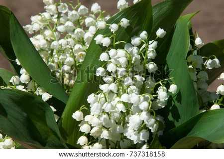 Lily valley flowers natural background blooming stock photo royalty lily of the valley flowers natural background with blooming lilies of the valley lilies mightylinksfo
