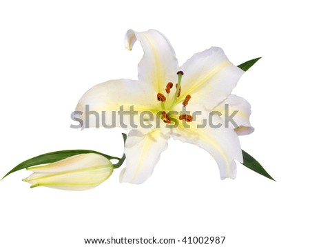 lily on a white background - stock photo