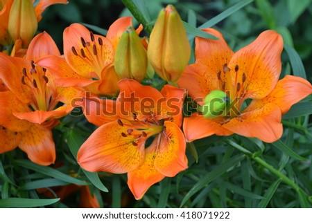 Lily orange, inflorescence. Home, garden, kitchen garden. Lilium. Lilium bulbiferum - stock photo