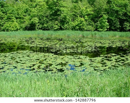 lily pad blossoms in water pond - stock photo