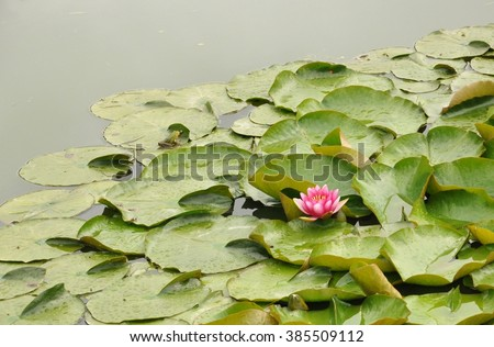 Lily pads  - stock photo