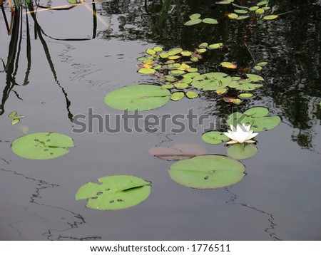 Lily pads and a single lotus flower. - stock photo